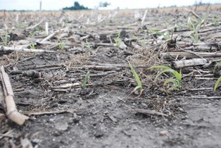 Figure 1. Corn plant stand thriftiness and population reduced in southeast Iowa by Pythium infection under conservation tillage system.